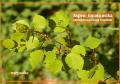 Aspen – topola osika